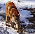 Cougar - Wildlife Pairie Park photo.jpg