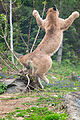 Cougar Leaping with Claws Out (17831673346).jpg