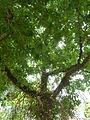 Couroupita guianensis (arbre aux boulets de canon) - 879 - Frondaison.JPG