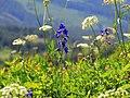 Cow Parsnip & Lupine on Silver Star Trail-Gifford Pinchot (26755986856).jpg