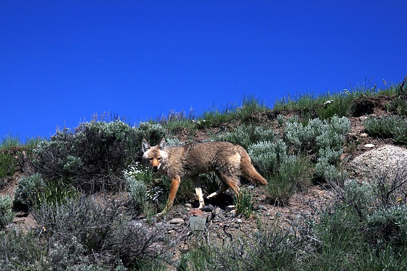File:Coyote in Yellowstone national park.jpg