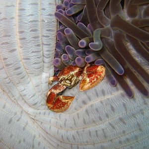 Mactan - Image: Crab in a sea anemone