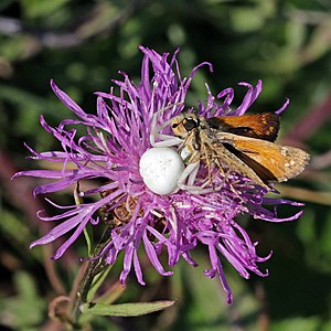 Crab spider (Misumena Vatia) with prey silver-spotted skipper (Hesperia comma)