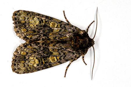 Craniophora ligustri, Lodz(Poland)01(js).jpg