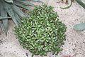 Crassula Portilacea & Sudafrica (1) (11983124675).jpg