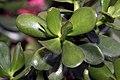 Crassula argentea 12zz.jpg
