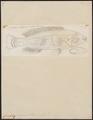 Crenilabrus virescens - 1774-1804 - Print - Iconographia Zoologica - Special Collections University of Amsterdam - UBA01 IZ13900205.tif