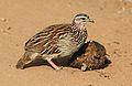 Crested Francolin, Dendroperdix sephaena, feeding in dung at Pilanesberg National Park, Northwest Province, South Africa (29859488115).jpg