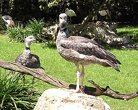 Crested or Southern Screamer (Chauna torquata) - 20050401.jpg