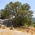 Cretan Maple, at Pano Kaminaki, Kroustas, Dikti Mountains, Island of Crete.jpg