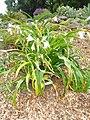 Crinum macowanii - University of California Botanical Garden - DSC08888.JPG