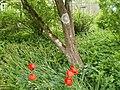 Crochettiti in private garden (8911020229).jpg