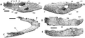 Crocodylus anthropophagus mandibular remains.png