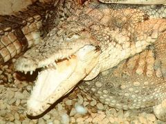 Crocodylus rhombifer.jpg
