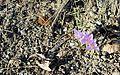 Crocus vernus subsp. vernus.JPG