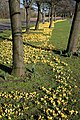 Crocuses at West Barns, Dunbar - geograph.org.uk - 1199732.jpg