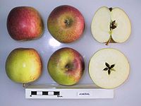 Cross section of Admiral, National Fruit Collection (acc. 1951-148).jpg