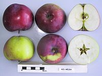Cross section of Red Melba (LA), National Fruit Collection (acc. 1973-161).jpg