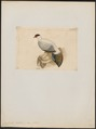 Crossoptilon tibetanus - 1820-1860 - Print - Iconographia Zoologica - Special Collections University of Amsterdam - UBA01 IZ16900272.tif