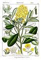Crotalaria formosa Rungiah.jpg