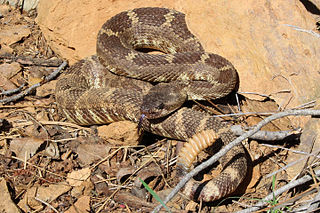 <i>Crotalus oreganus</i> species of reptile