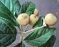 Croton malabaricus 20.jpg