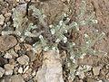 Cryptantha utahensis plant.jpg