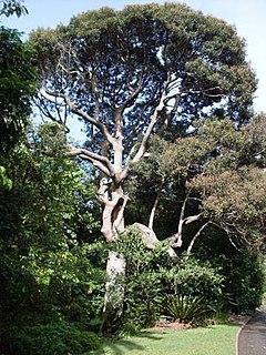 <i>Cryptocarya obovata</i> Species of tree