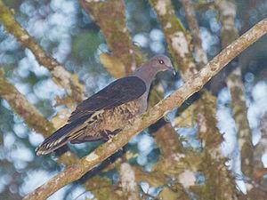 Sombre pigeon - Image: Cryptophaps poecilorrhoa
