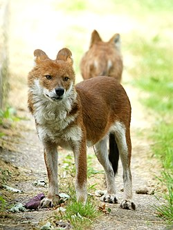meaning of dhole