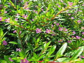 Cuphea hyssopifolia7.jpg