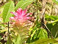 Curcuma aromatica .jpg