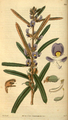 Curtis's Botanical Magazine, Plate 3053 (Volume 58, 1831).png