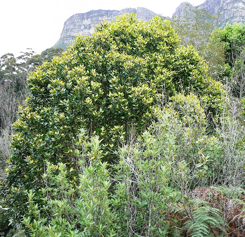 Curtisia dentata - Assegai tree top canopy - Table Mountain 3.JPG
