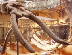 Cuvieronius hyodon.JPG
