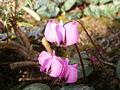Cyclamen coum - light pink.jpg