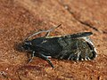 Cydia strobilella - Spruce seed moth - Листовёртка еловая шишковая (27409374798).jpg