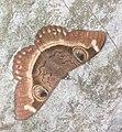 Cyligramma duplex moth.jpg