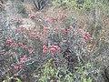 Cylindropuntia leptocaulis (5686356568).jpg