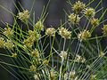 Cyperus papyrus close up.JPG