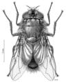 DIPT Calliphoridae Calliphora quadrimaculata f.png