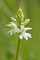 Dactylorhiza fuchsii alba - Käesalu.jpg