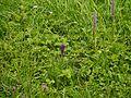 Dactylorhiza hatagirea and Gymnadenia orchidis (7832438382).jpg