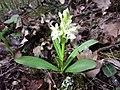 Dactylorhiza sambucina sl6.jpg