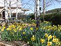 Daffodil Festival.jpg