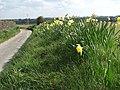 Daffodils by the roadside - geograph.org.uk - 759156.jpg