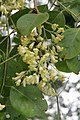 Dalbergia latifolia - Black Rosewood - at Begur 2014 (10).jpg
