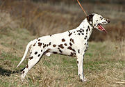 """The image """"http://upload.wikimedia.org/wikipedia/commons/thumb/e/eb/Dalmatian_liver_stacked.jpg/180px-Dalmatian_liver_stacked.jpg"""" cannot be displayed, because it contains errors."""