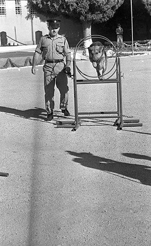 אימון יחידת הכלבנים, שפרעם, 1969. צלם- דן הדני. מאוספי הספרייה הלאומית, ישראל.