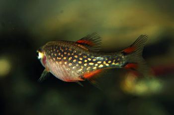 English: Female individuum of Danio margaritat...